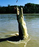 Jumping Crocodiles, NT